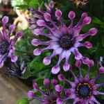 gartenblumen8