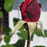 rosenbluete1