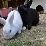 kaninchen-im-aussengehege1