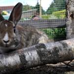kaninchen-im-aussengehege4