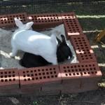 kaninchen-im-aussengehege5