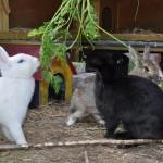 kaninchen-im-aussengehege6