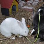 kaninchen-im-aussengehege7