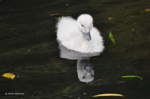 Schwanenkind im Vogelpark Walsrode