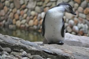 Pinguin im Vogelpark Walsrode